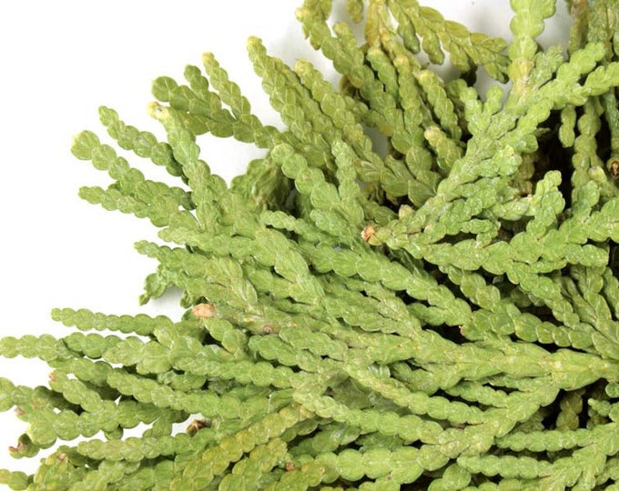 Bulk Thuja Twigs - Sold by the ounce