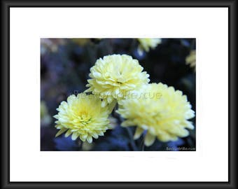Soft Yellow. Photography, Free Shipping, Print, Framed Print, Canvas Wrap, Canvas with Floating Frame, Wall Art, Home Decor, Nature, Flower
