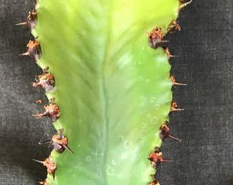 Scared Euphorbia Cutting