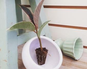 Tineke Ficus Plug  (1)