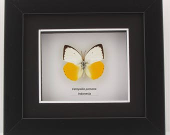 Catopsilia scylla (Orange Emigrant) Taxidermy Butterfly in Matted Shadow Box Frame - Wall Decoration
