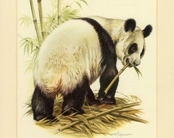 Vintage lithograph of the giant panda from 1956