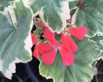 Variegated Leaf Geranium - Red Flower