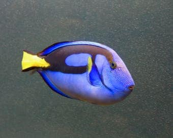 finding dory/fish/fish photography/photo/canvas/gift card/prints
