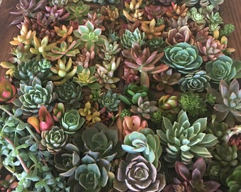 "54 succulent cuttings. 50 approx 2"" to 5"" cuttings for your fabulous creations wirh an additional 4 larger piece cuttings for a cake topper."