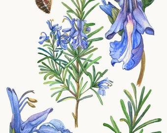 Rosmarinus Flower Bee Watercolour Painting Drawing Art Print N283