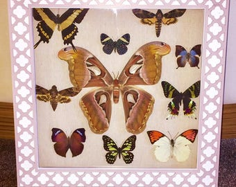 A large 15x15 box frame containing various stunning butterflies and moths