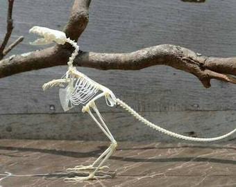 creative real bones specimen,bird body real bone and marten head.imitate dinosaur skeleton.<dinosaur evolution>,only one