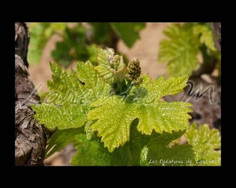Photo background large 30X40cm on a vine in bloom in a field of Bandol