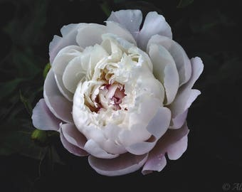 Peony In Bloom - Fine Art Print