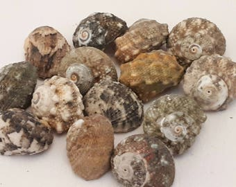 A5 - set of 14 shells approx 15 mm UN-drilled - ideal for any creation