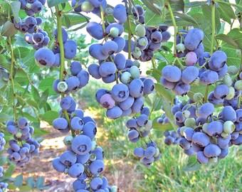 Organic blueberry seeds, Vaccinium Corymbosum, NON GMO