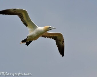 Photograph format 13 x 18 cm: Gannet in flight