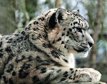 MC14805 Snow Leopard