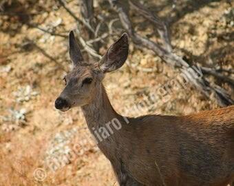 Deer in the Desert