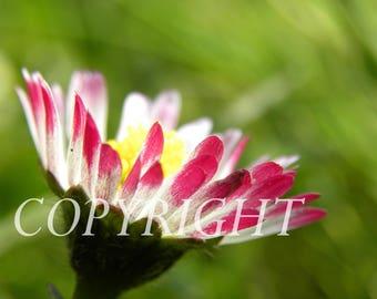 Daisy perennial macro photo.