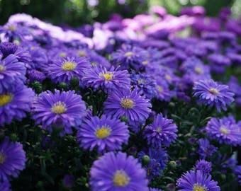Purple Astrid