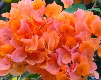 Bougainvillea-Orange-Afterglow