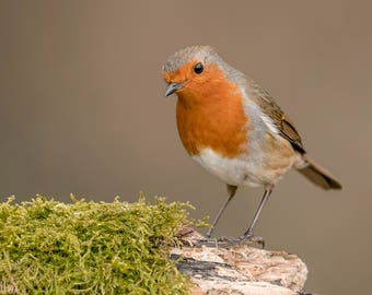 Wildlife Photographic signed mounted A4/A3 Prints of a Robin