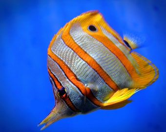 Butterfly Fish Photography Print, Tropical Fish Photo, Fine Art Photography, Large Wall Art
