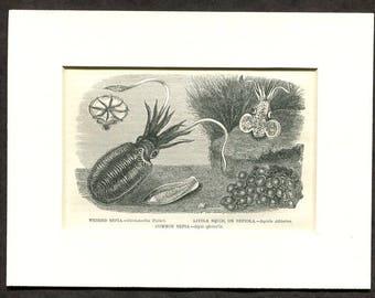 1865 Antique Print of Squids Squid
