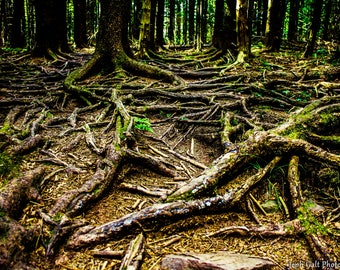 Gnarled Roots
