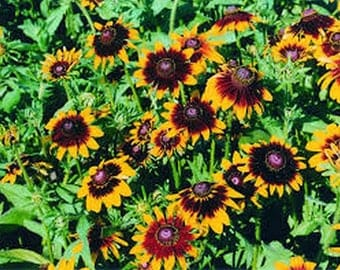 Rudbeckia-Hirta- Autumn Forest- 100 Seeds