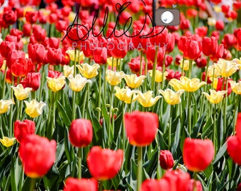 Red and Yellow Tulip Rows