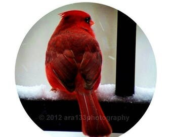 50% OFF SALE Ruby, Red, Christmas Home Decor - Cardinal Photograph, Red, Nature Photo, Winter,  Round Image on an 8x10 inch Print - Watcher