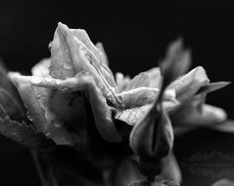 Rose Photograph, Wall Decor, Black and White, Summer Garden, Flower Print, Fine Art Photography, Photo of Raindrops, Floral Print, Wall Art