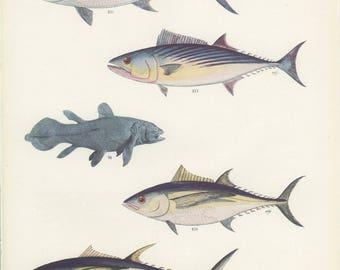 Bluefin Tuna, German Bonito,Yellowfin Tuna, Vintage Fish Print 66, 1950's Margaret Smith Ichthyology Print, Fishing Decor, Kitchen Decor