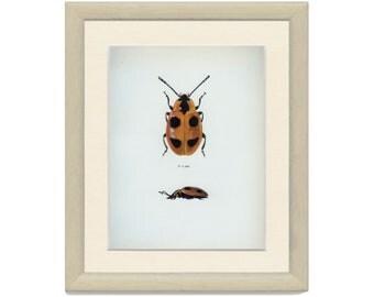 Vintage BEETLE Print, Ladybird, Ladybug, (91) Vladimir Bohac, 1965, Bug Creepy Crawly, Frameable Art