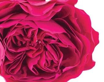 Garden Rose Bold Pink Garden Flowers  - Vinyl Decal Wall Décor