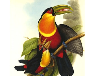 Toucan Print by Gould large on heavy paper SALE Buy 3, get 1 FREE