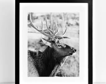 Bull Elk Photograph, Black and White Western Photography, Physical Print, Wild Elk