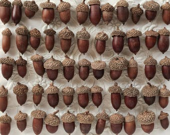 Bulk Acorns with Caps - 250 Dried Natural Acorns