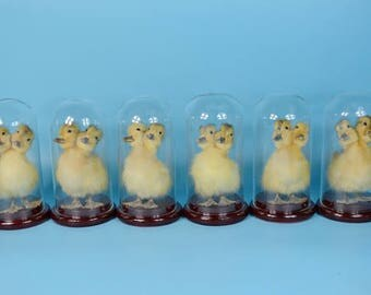 Wholesale!6 sets two headed yellow duckling mounted in dome decoration,bithday gift,christmas gift