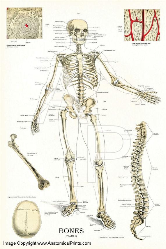 Wunderbar Fuß Skelettanatomie Ideen - Anatomie Ideen - finotti.info