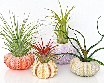 Air Plant Terrarium Kit - 4 Tillandsia Air Plants + 4 Sea Urchin Shell + Gift Box * Genuine Sea Shell Planters. Air plant holder Planter Set