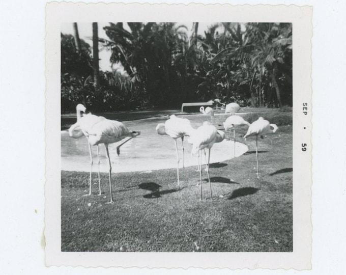 Vintage Snapshot Photo: Flamingos, 1959 (78601)