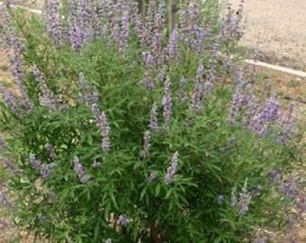 100 Chaste Tree Seeds, Vitex Agnus-Castus
