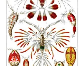Ernst Haeckel's Vintage Artwork Copepoda