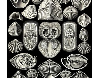 Ernst Haeckel's Vintage Artwork Spirobranchia