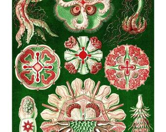 Ernst Haeckel's Vintage Artwork Discomedusae