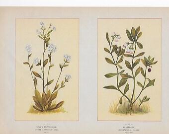 Antique Botanical Illustrations c1895 -King's Eritrichium, Bear berry
