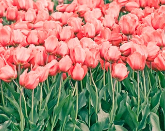 Mass of Pink Red Tulips with Green 4x6, 5x7, 8x10, or 11x14