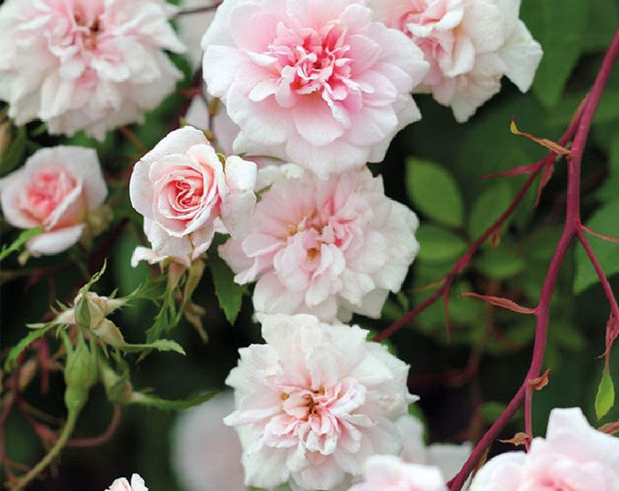 Cecile Brunner Rose Bush Fragrant Pink Climbing Rose Plant Own Root In 5 Inch Deep Root Pot Lush Double Flowers