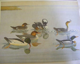 Ducks Water Merganser, Hooded Merganser, Mallard, Black Ducks, Gadwall Double Sided Lithograph Book Print Louis Fuertes