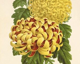 Chrysanthemums art antique flower art print botanical art prints vintage flower wall art garden prints antique wall art Victorian art prints
