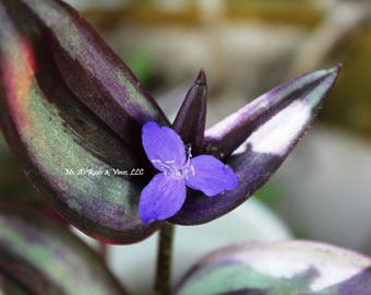 6x cuttings Tradescantia Zebrina, Purple Wandering Jew Plant, 6 cuttings (4-5 inches each) Fresh cuttings, easy to root